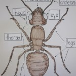 This poster served as a matching game for ant anatomy.